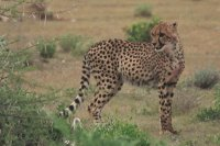Photo: Cheetah in the Etosha Pan, Namibia